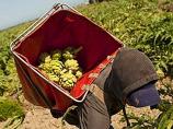 Zenport AG418 AgriKon Artichoke-Vegetable Harvest Tote