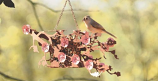 Cherry Blossom Suet Feeder w/ 2 Seed Cakes